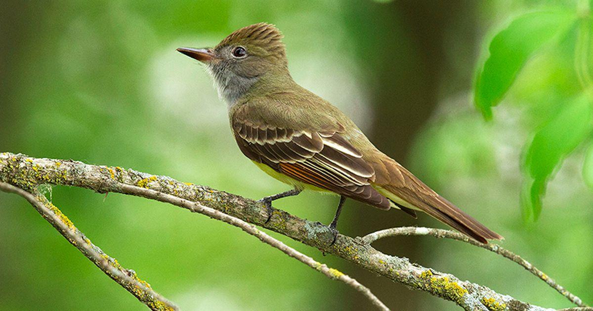 northamerican birds