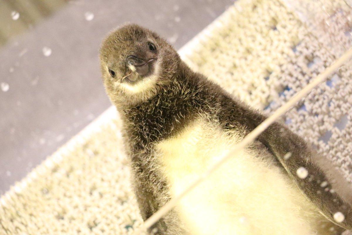 すみだ水族館のペンギンの赤ちゃん! めっちゃ可愛かった\u2026 4月19日生まれだそうです! (5月15日撮影) すみだペンギン赤ちゃん  pic.twitter.com/oBuoDKSONb