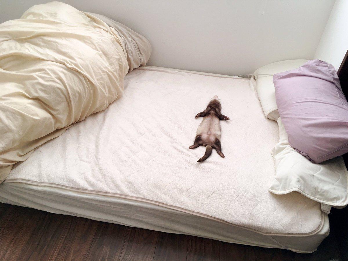 イタチ部屋兼お父ちゃんの寝室を覗いたら三男がベッドで大の字で寝ていたのが衝撃だった今日の昼下がり。#フェレット pic.twitter.com/kC617z0Qp4