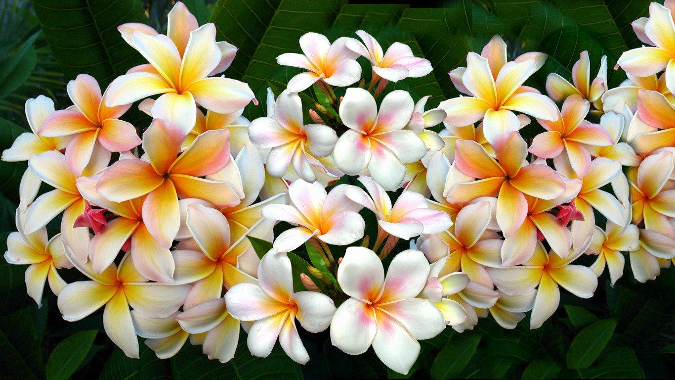 Букет, цветы франжипани в алмате купить