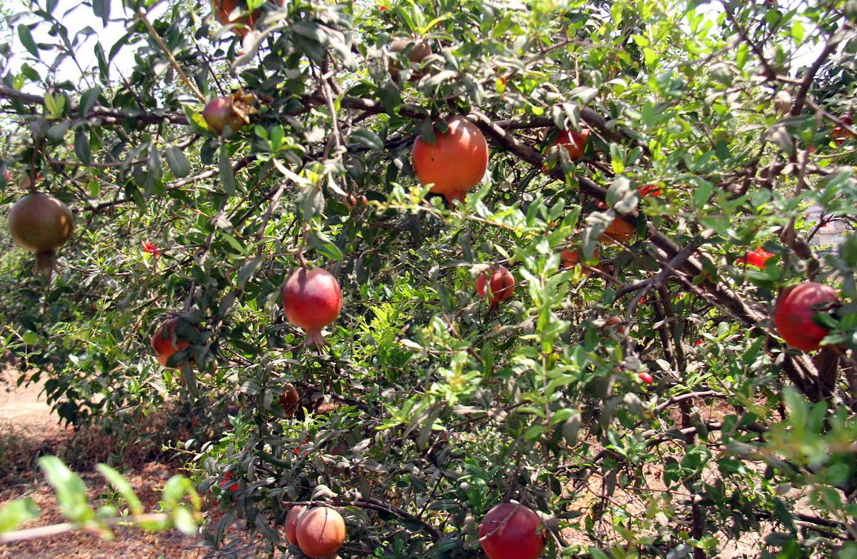 Mundra APMC starts exporting pomegranate containers to Gulf countries