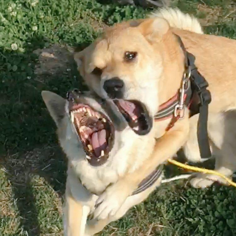 うちの凶悪な犬達が合体して悪魔が誕生した pic.twitter.com/K8vQVyzSpo
