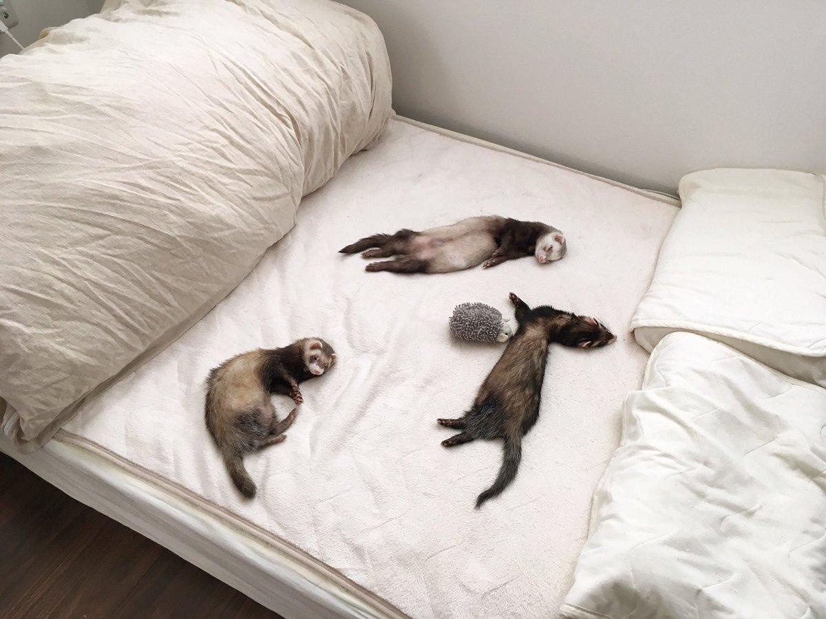 ベッドで寝るの流行ってるのかな…(見に行く度にイタチが減って行く) #フェレット pic.twitter.com/GpV0IoRmsL