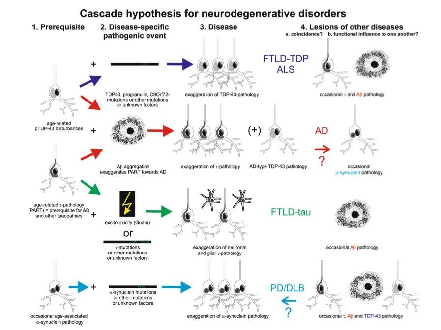 Interactions of pathological proteins in neurodegenerative diseases  Tara L. Spires‐Jones1· Johannes Attems &· Dietmar Thal3