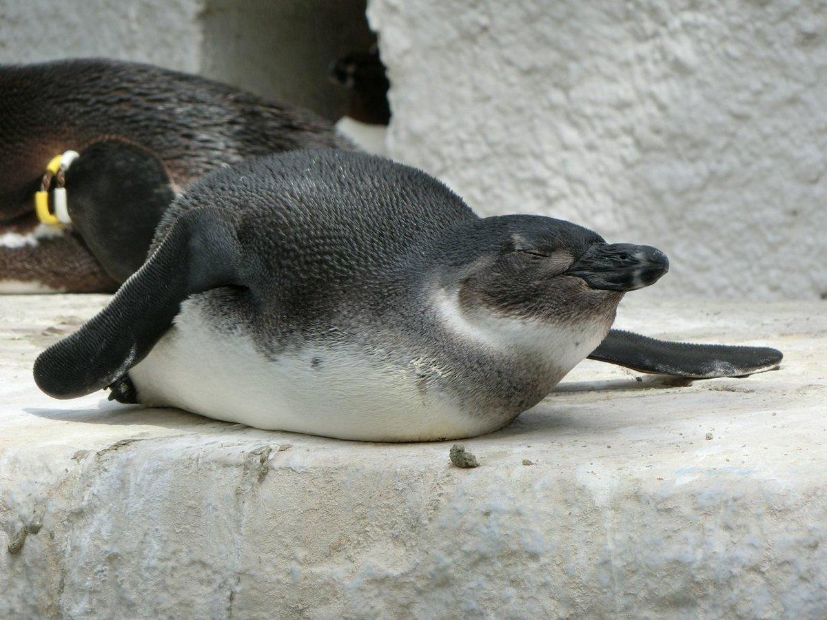 おはようござ・・・まだ寝てますね。 こちらのケープペンギン、寝方が少し個性的。 寝てる姿を観察してみ…