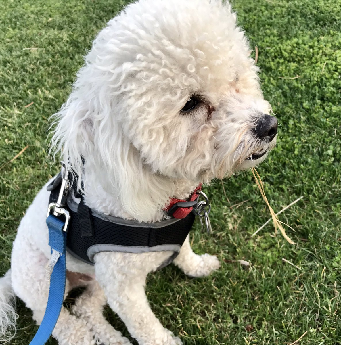 We lost our white 12# male Bichon Frise at 7pm today in Cypress CA near Orange/Moody no collar - 310.508.7909 https://t.co/jL2oQVDK84