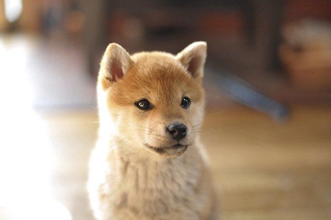 Quiero tanto un Shiba Inu 😫😭🐶 Al parecer me va a tocar irme a Japón porque allá es tan común como el french poodle de peluquería colombiano.