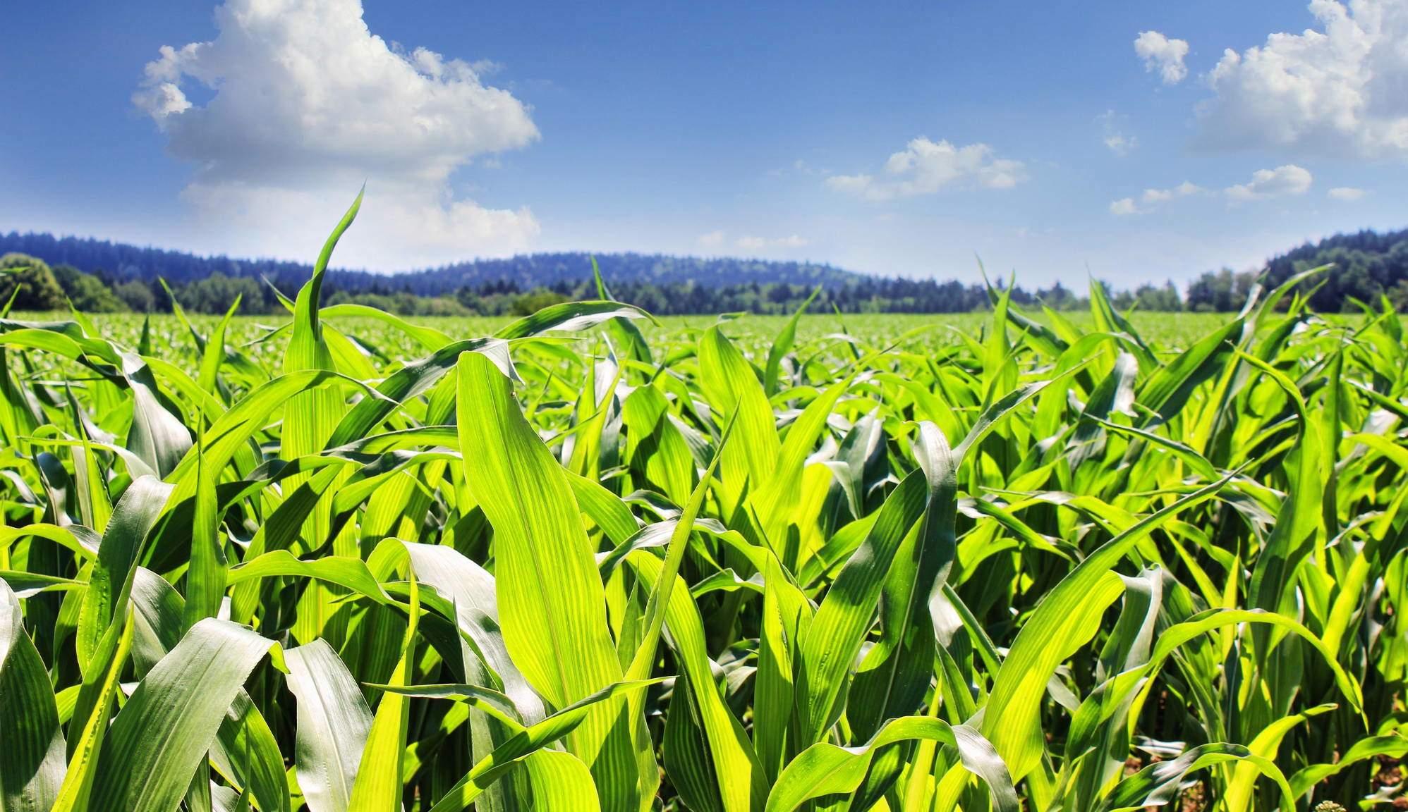 кто фото кукурузы на поле индюков считается одним