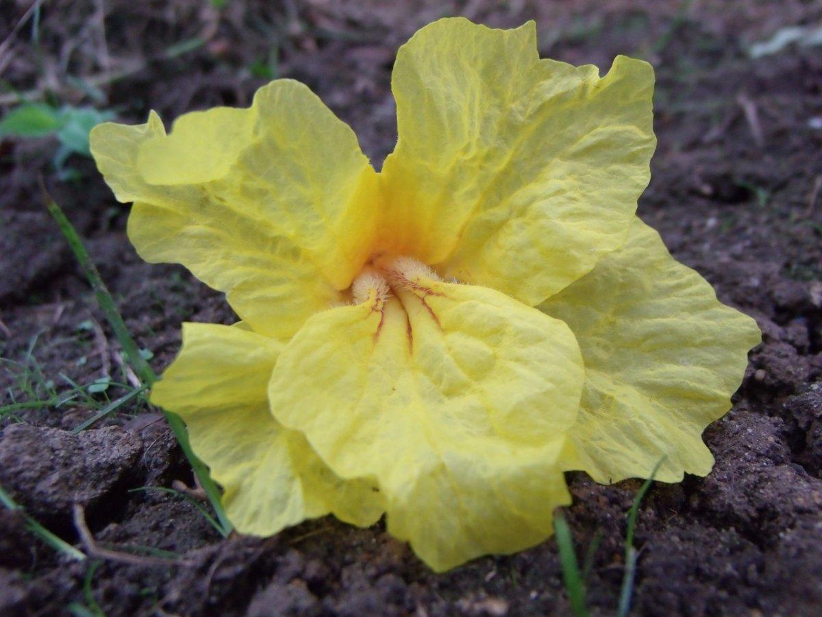 """Luis Enrrique Diaz on Twitter: """"Flor de Araguaney (Tabebuia ..."""