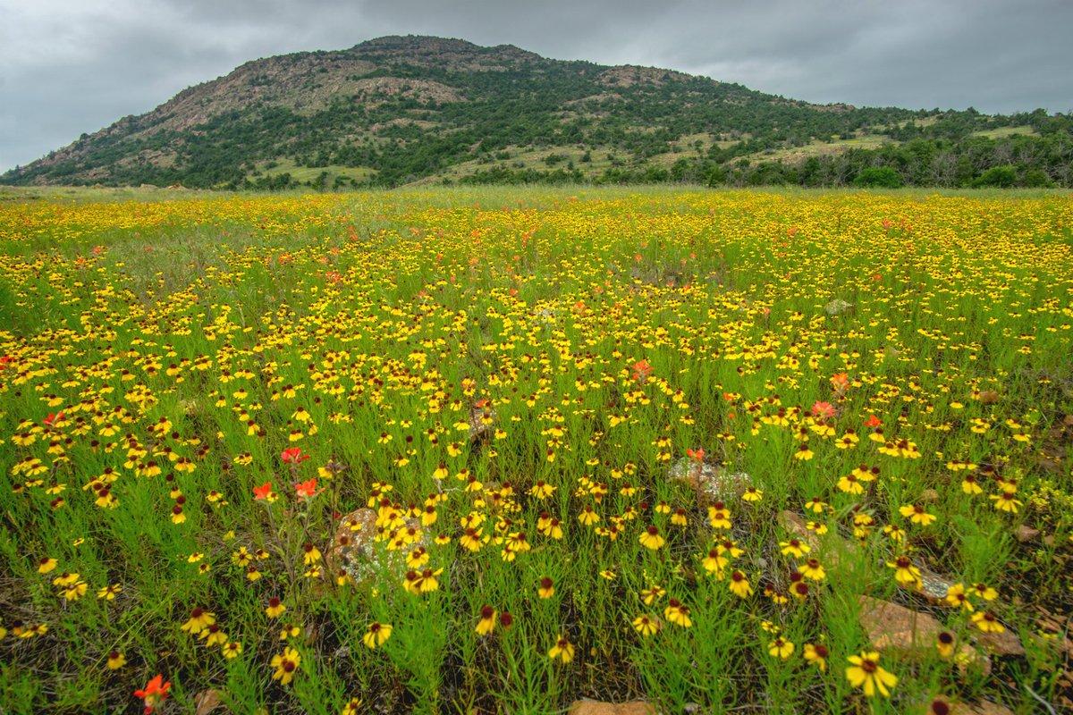 #oklahoma! where the wildflowers bloom at wichita ...