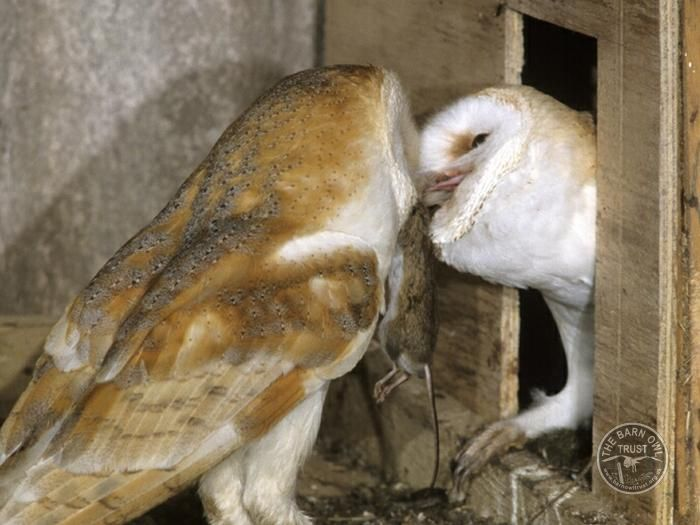Spread the word - it's illegal to disturb a Barn Owl or it's young on or near a nest:  https://t.co/w9sgrROtcC https://t.co/9G890qJX9S