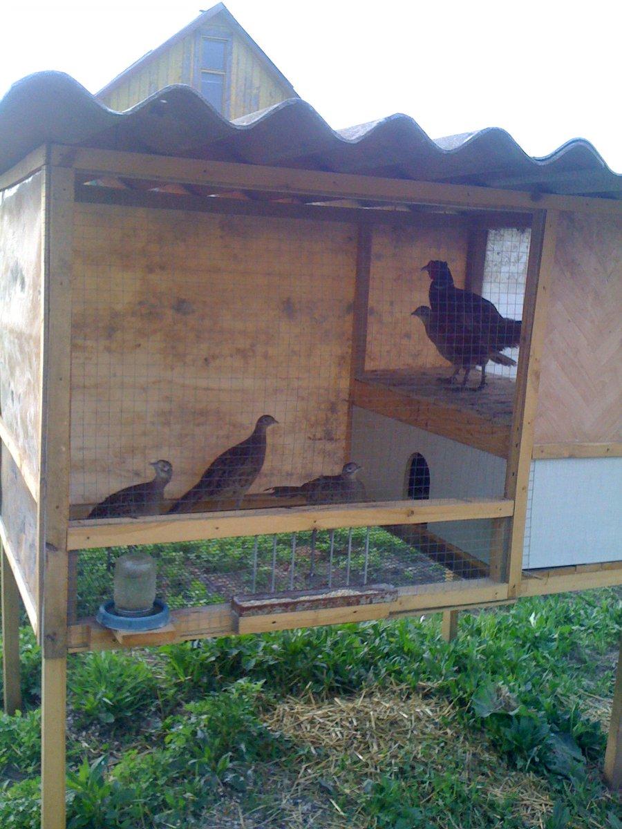 Порода кур Золотой Орпингтон – английские аристократы птичьего двора