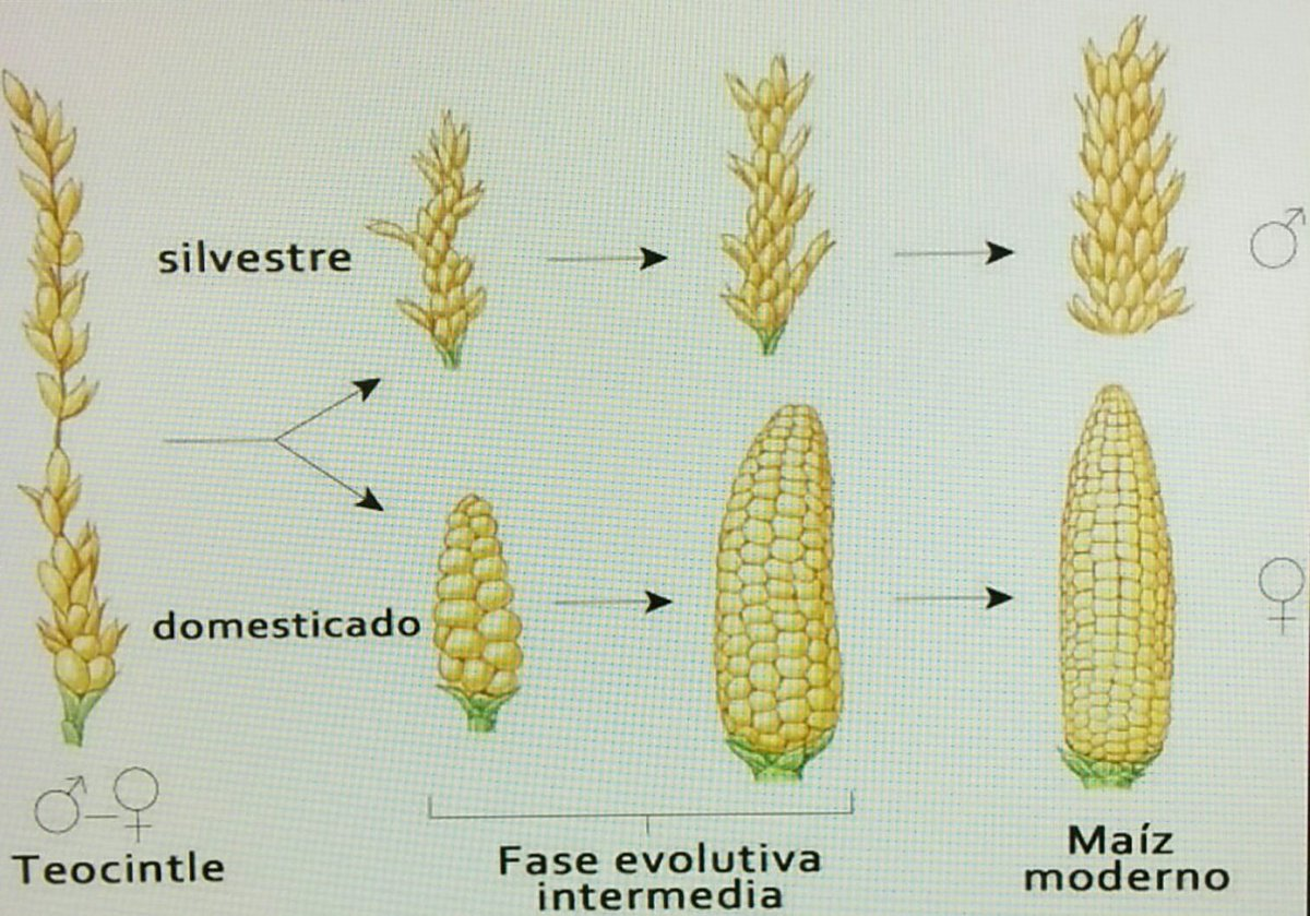 Resultado de imagen para maiz teocintle