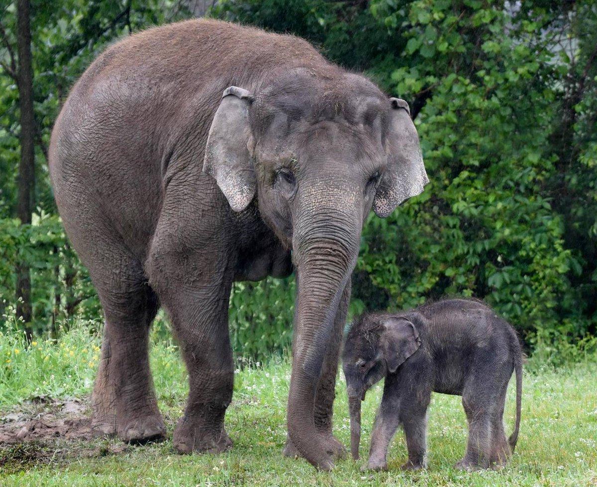 rosamond gifford zoo on twitter flashbackfriday asian elephant