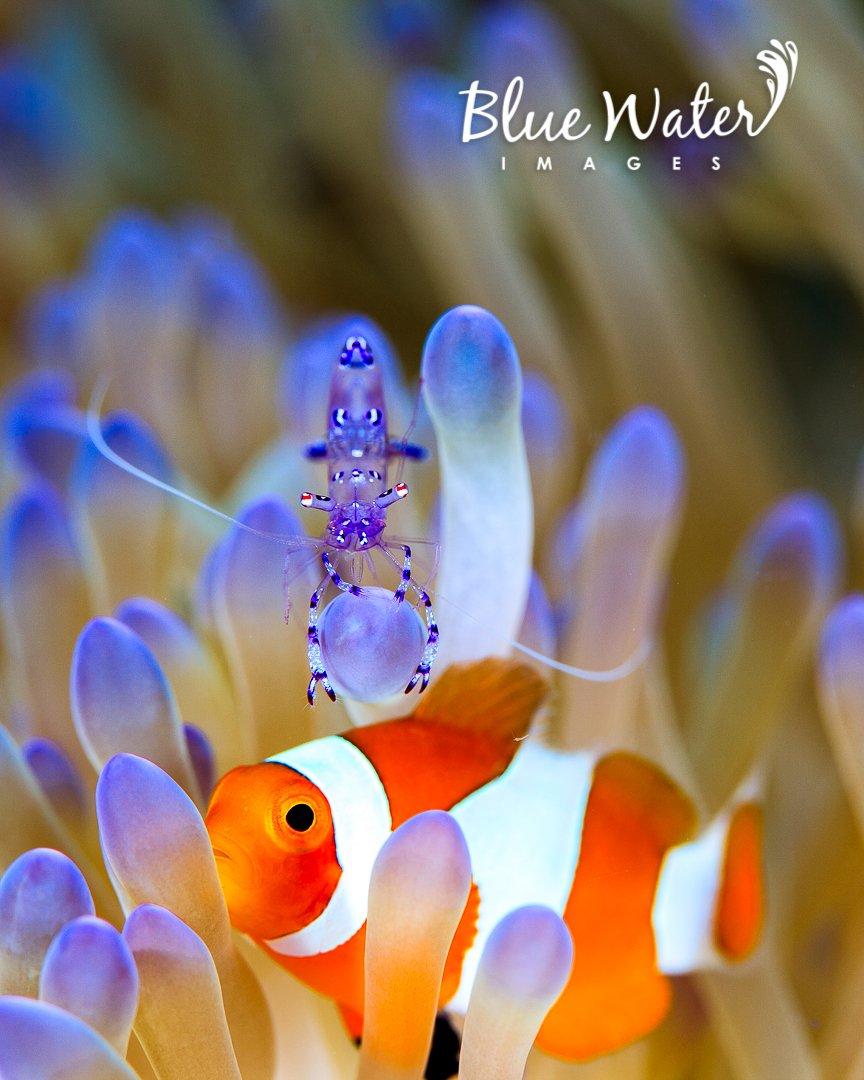 Photobomb Friday!  (I was shooting the shrimp when the clown started clowning around... ;)  #shrimp #clownfish #anemone #Misool #Indonesiapic.twitter.com/vfwRcJ11eV