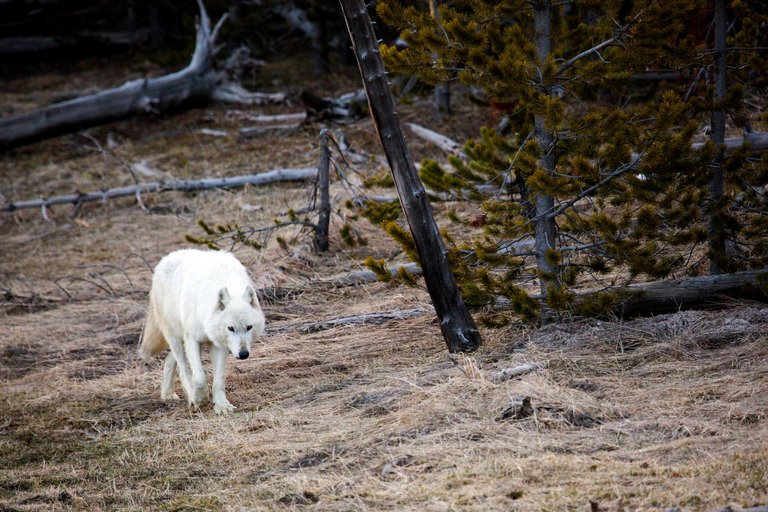 Rare White #Wolf Killed in Yellowstone Park Was Shot Illegally https://t.co/94Lj0M65dJ https://t.co/y6XqgBoCiK