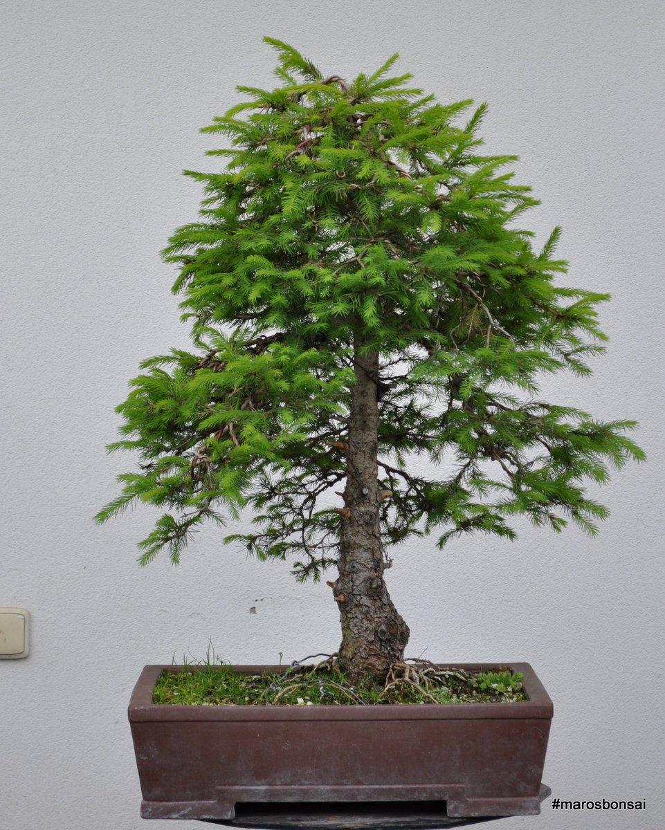 Maros Bonsai On Twitter Picea Abies Norway Spruce Bonsai With Fresh Growth Https T Co Bgjzp0guap Marosbonsai Bonsaitree Spring Yamadori Https T Co Nrpqmiefy0