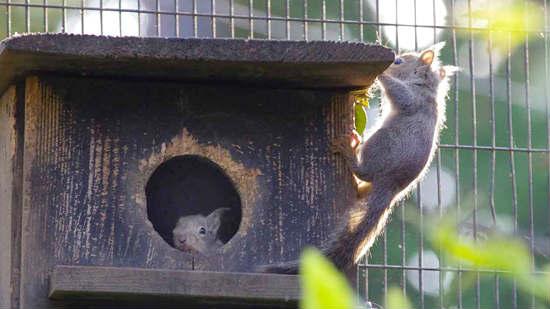 井の頭自然文化園では今年も子リスが巣箱から顔を出し、外に出て冒険するようになりました。東京ズーネット最新記事☞