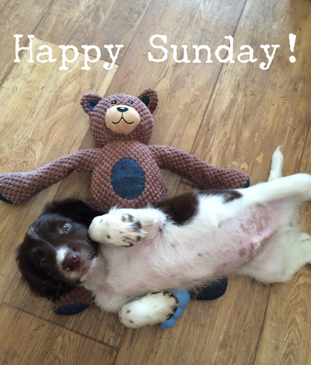 #Ralph wishes you all a #HappySunday!  #SpringerSpaniel ☺️ https://t.c...