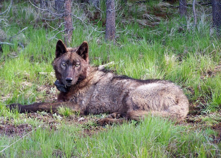 Opinion: Wolves get a grudging welcome from Northern California ranchers.