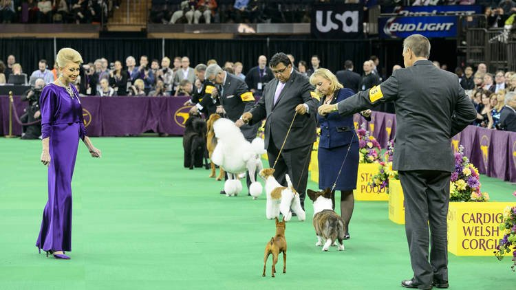 The Westminster Dog Show starts Monday! Here's what you need to know: @WKCDOGS
