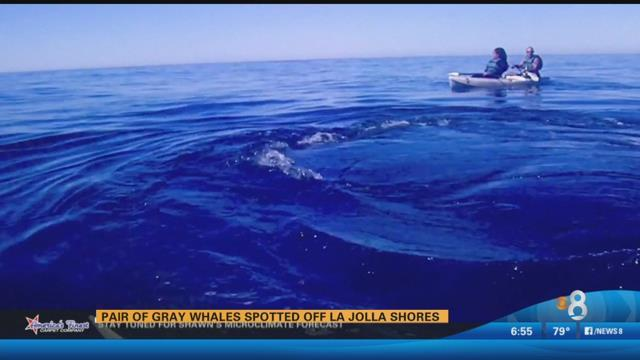 WATCH: A pair of gray whales spotted off La Jolla Shores.