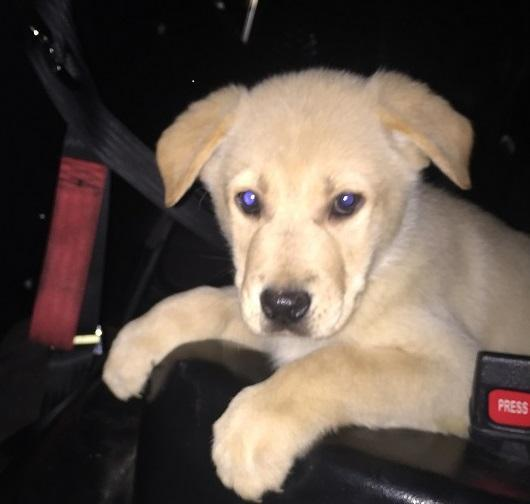 San Jose: Officer rescues yellow Lab puppy trapped in storm drain