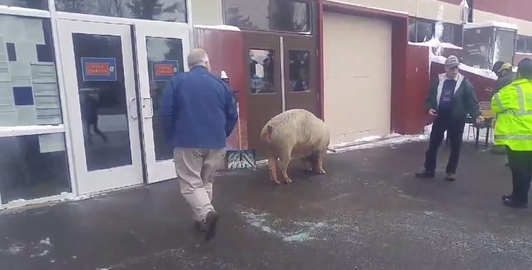 """Call it the """"Pelham primary pig."""" 600-pound sow decided to go to a polling place NHprimary"""