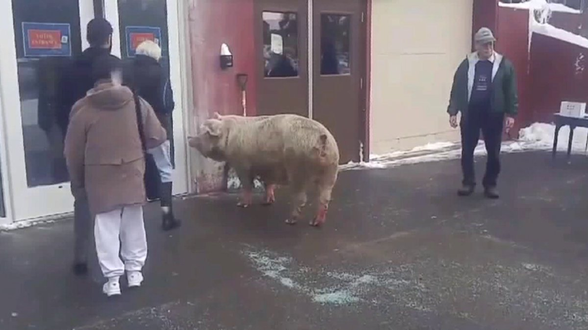 Escaped 600-pound pig crashes voting spot in New Hampshire