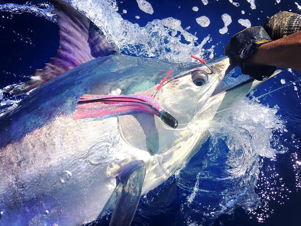 Exmouth, Aus - Beautiful Black Marlin released by Ningaloo.