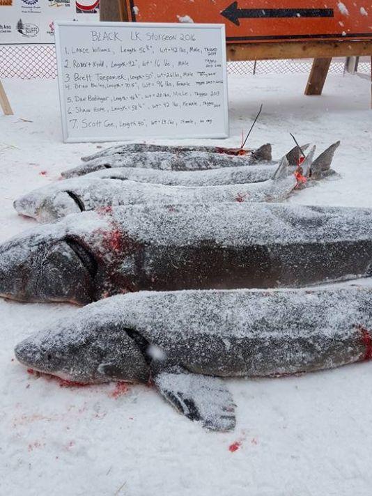 Black Lake sturgeon season: One hour, seven fish