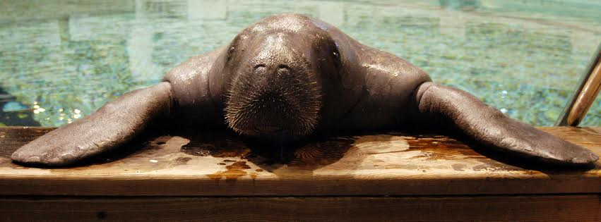 Come visit Snooty, the World's Oldest Manatee at the South Florida Museum in the beautiful #Bradenton area! #LoveFL https://t.co/fmS5C2gnJ5