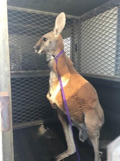 Kangaroo caught hopping around streets in Hood County KPRC2