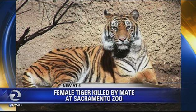 Male tiger kills female tiger in Sacramento Zoo breeding mishap