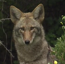 SF neighborhood worries about pets after this coyote moves into vacant lot- @DeboraKTVU has the story at 10:30p