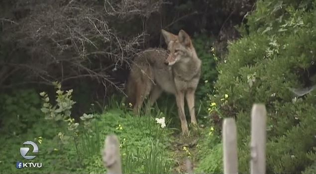 Coyote finds SF's BernalHeights to be a suitable hangout