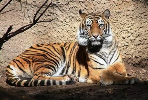 Memphis Zoo tiger kills Sacramento Zoo tiger during mating attempt