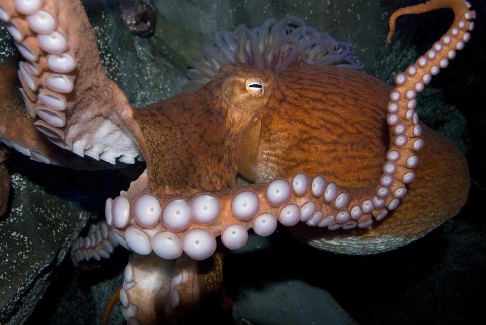 Birds do it. Bees do it. Giant Pacific octopuses do it