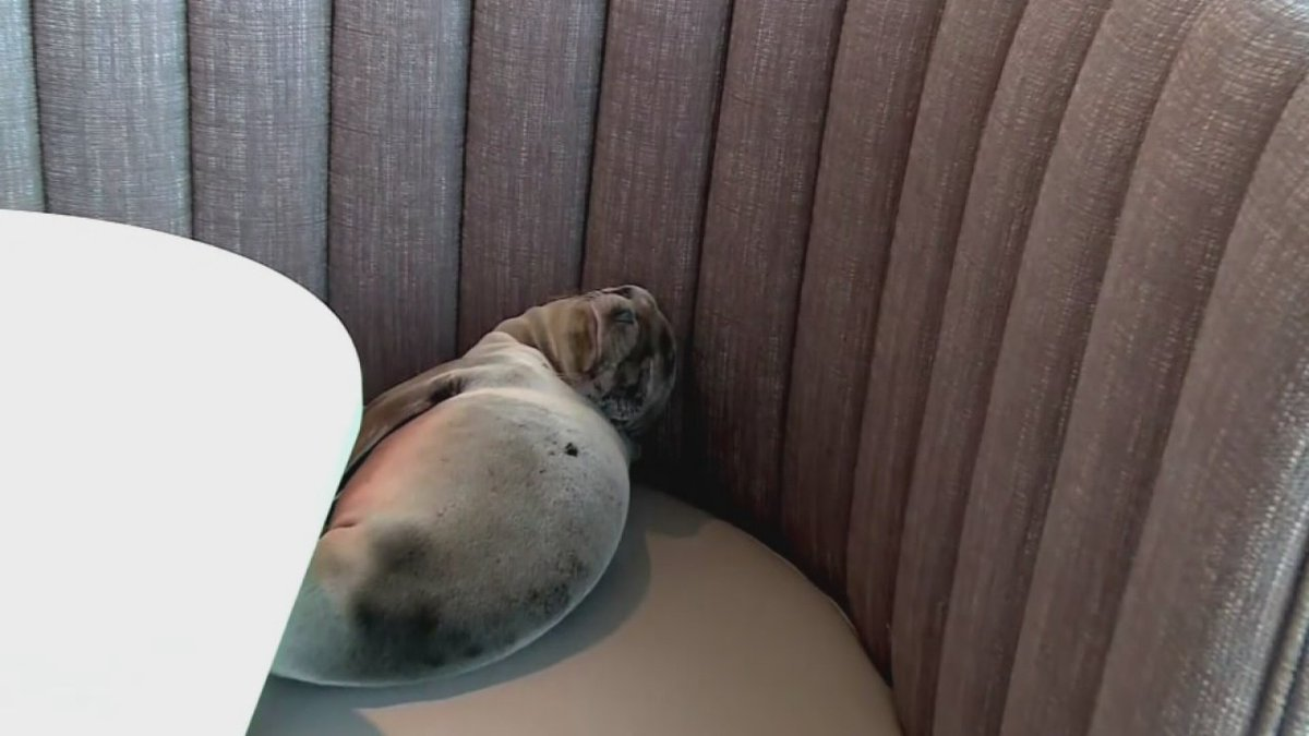 A sea lion pup that wandered into a restaurant is recovering, handlers say