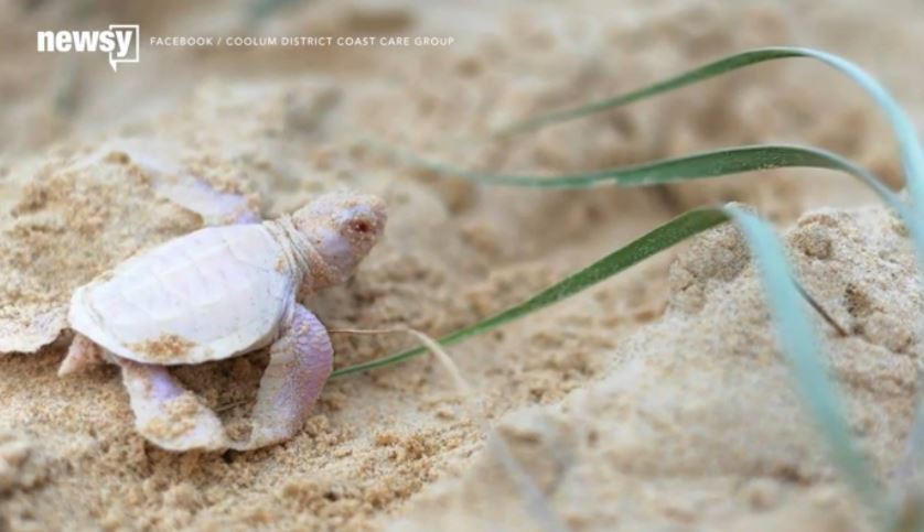 Surprise! this baby green turtle isn't green at all 9newsmornings AlbinoTurtle
