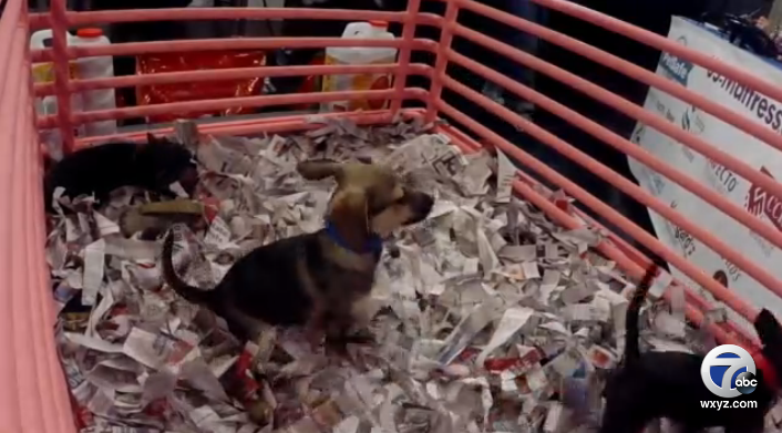 The puppies on our LIVE PUPPYCAM from the @mhumane telethon are having fun!Watch