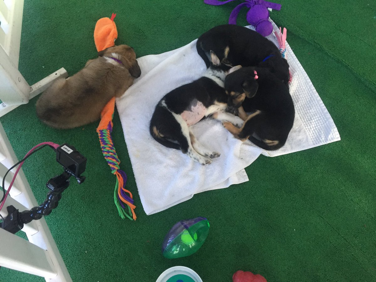 Nap time in Pup Town! dflheartspets