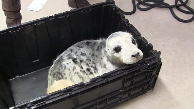 Grey seal pup hit by vehicle in N.S., being treated for injuries