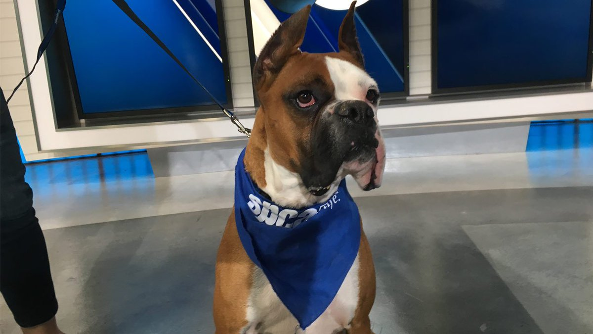 Meet our Pet of the week, Parker! He works w/ kids in spcaLA's violence prevention program