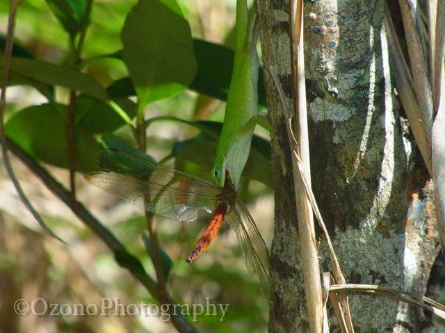 ウスバキトンボを捕食するグリーンアノール。かつてアノール犯人説が提唱された時、「トカゲにトンボは獲れねえだろ!」と否定する声も少なくありませんでしたが、実際にはこの通り。その運動能力は凄まじいものがあります。2010年10月、父島。
