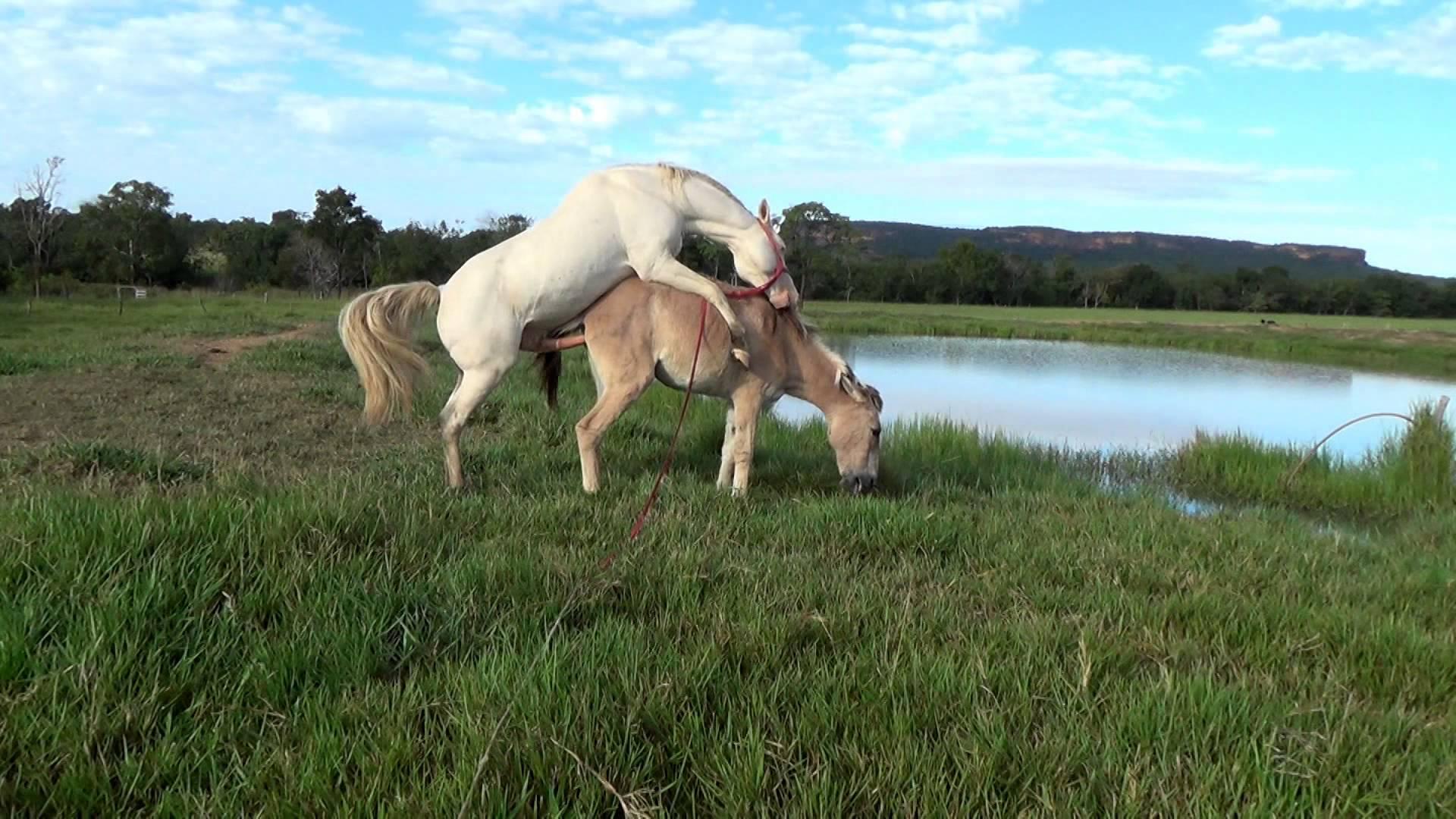 Horse Mating