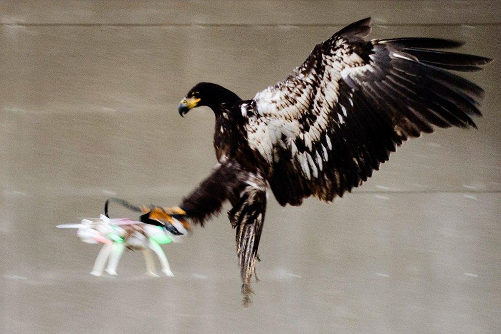 Aquile usate contro i droni