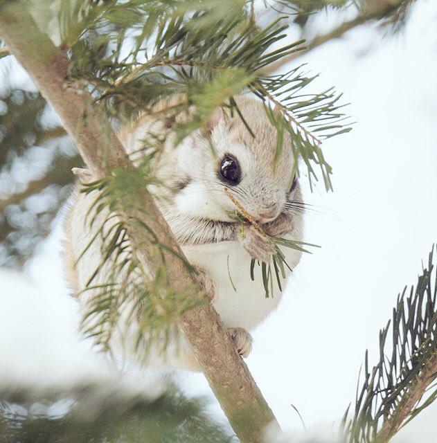 今日のエゾモモンガ、巣穴を出てまずトドマツの葉を1時間強食べた。その後、何故か地上に降りてきて倒木の中をウロウロ。次にハンノキの冬芽を1時間強食べて帰宅。 pic.twitter.com/vxRNHtxB52