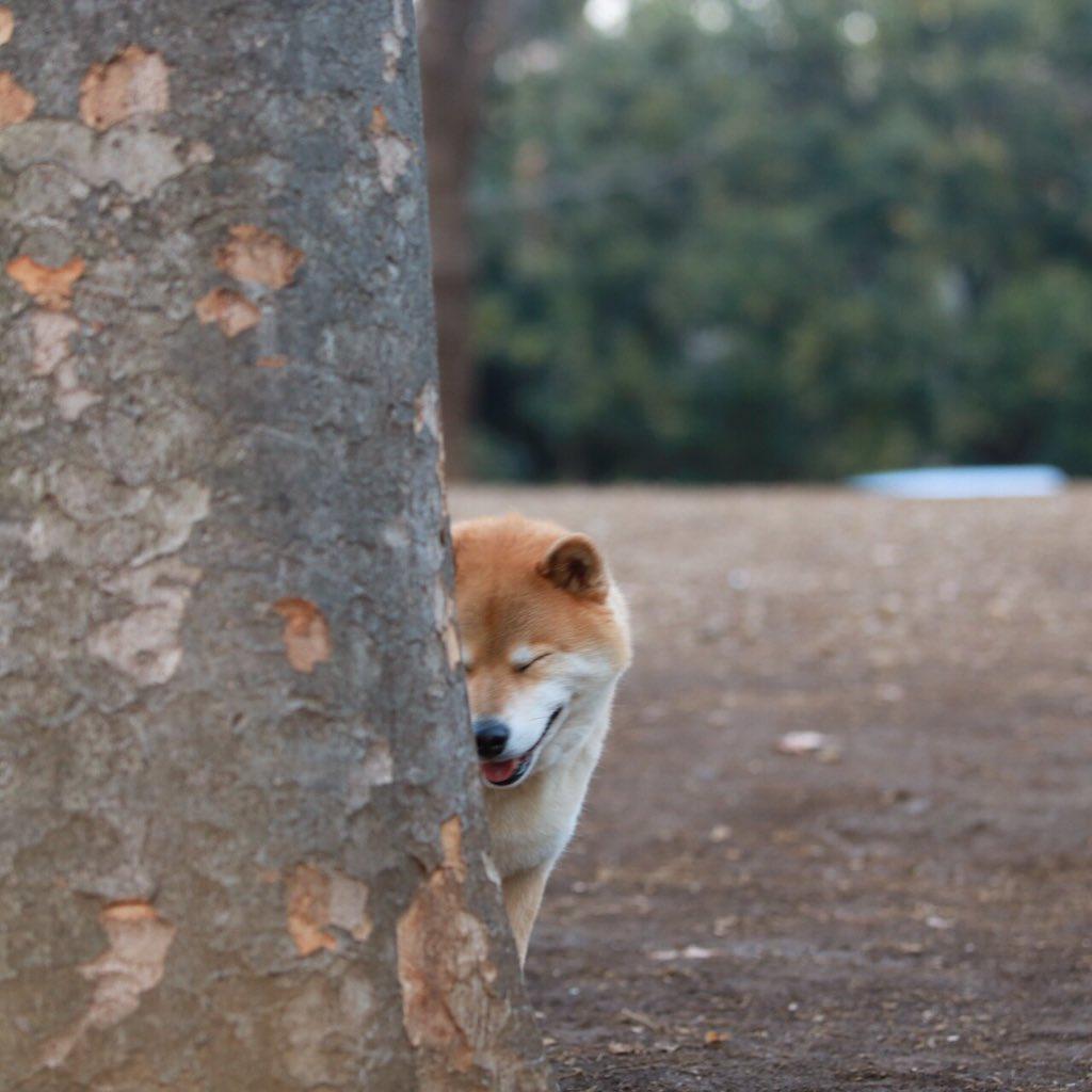 シャイな柴犬 pic.twitter.com/6c7H2jK0CR