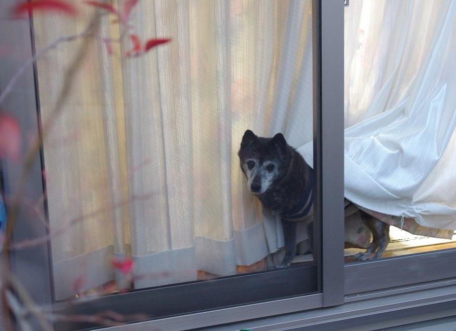 夕方早めに帰宅して車から降りたら、窓からももこが見えない目でこっちを見ていた。今日もただいま。#秘密結社老犬倶楽部